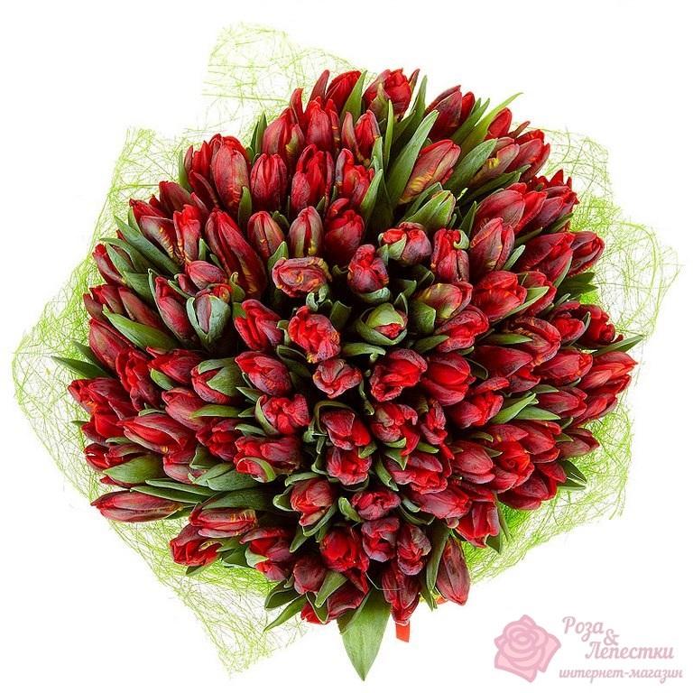 101 красно-бордовый тюльпан