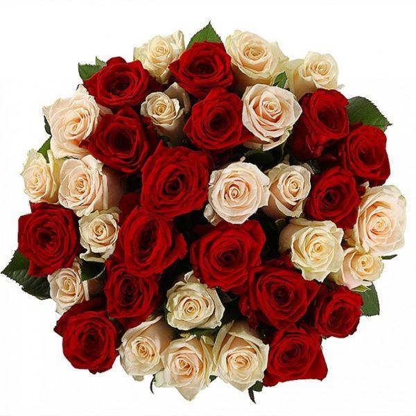 31 красно-кремовая роза