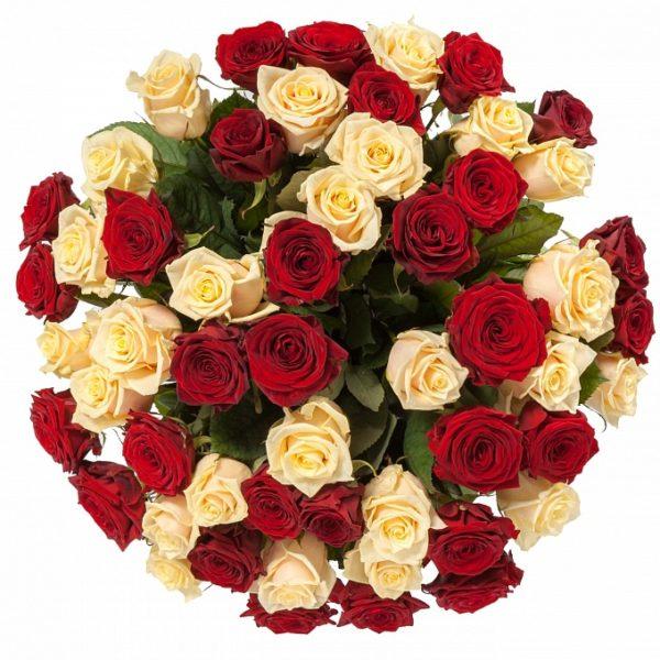 51 красно-кремовая роза