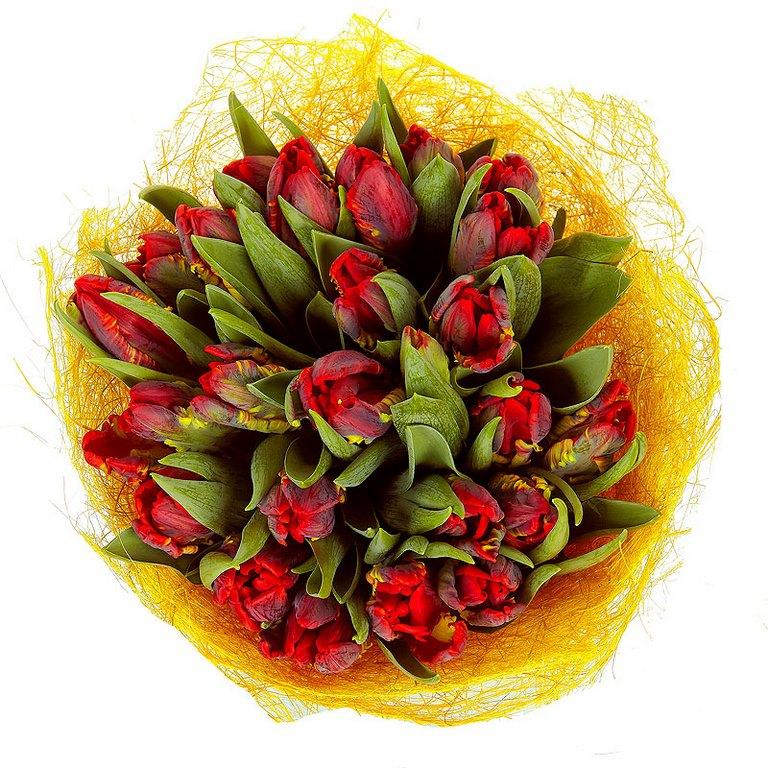 25 красно-бордовых тюльпанов